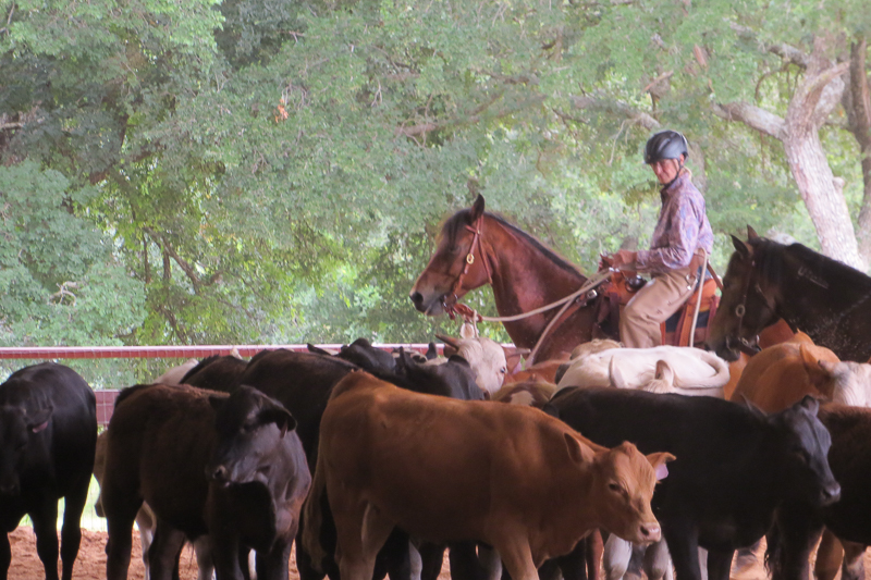 Working cattle at Brent Graef clinic.